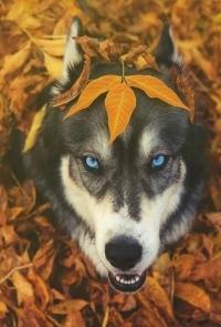 Аватар вконтакте Красивый пес с кленовым листом на морде