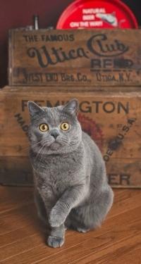 Аватар вконтакте Британский кот сидит у ящиков
