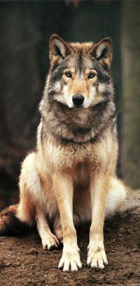 Аватар вконтакте Красивый серый волк