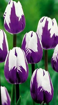 Аватар вконтакте Сиренево-белые тюльпаны на размытом фоне