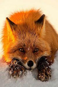 Аватар вконтакте Рыжая лиса на снегу