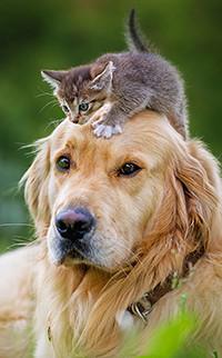 Аватар вконтакте На голове собаки сидит серый котенок