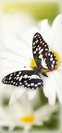 Аватар вконтакте Красивая черно-белая бабочка сидит на ромашке