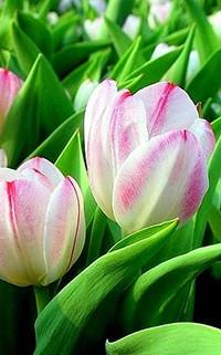 Аватар вконтакте Сиренево-белые тюльпаны с листьями