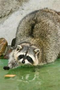 Аватар вконтакте Енот - полоскун ловит печеньку в воде