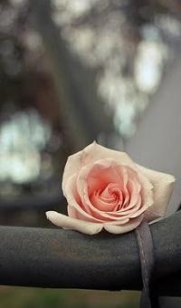 Аватар вконтакте Розовая роза на фоне бликов