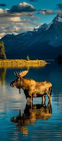 Аватар вконтакте Сохатый стоит в горном озере на фоне заснеженных вершин, Аляска / Alaska