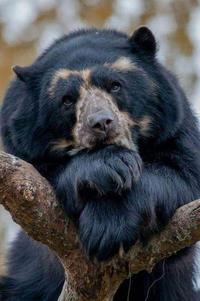 Аватар вконтакте Задумчивый медведь на дереве