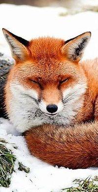 Аватар вконтакте Лиса дремлет, лежа на снегу