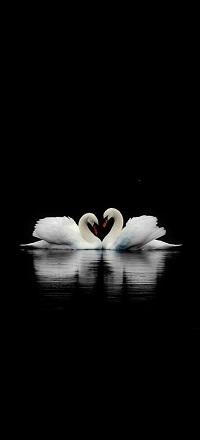 Аватар вконтакте Два белых лебедя на черном фоне