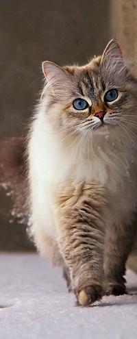 Аватар вконтакте Пушистый кот с голубыми глазами стоит на снегу