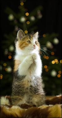 Аватар вконтакте Трехцветный котенок стоит на двух лапках, на фоне елки