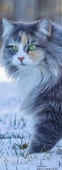 Аватар вконтакте Лохматый кот идет по снегу