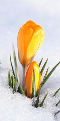 99px.ru аватар Желтые крокусы в снегу