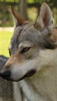 Аватар вконтакте Серый волк, by BlastOButter