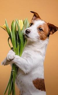 Аватар вконтакте Собака с тюльпанами, фотограф Анна Аверьянова