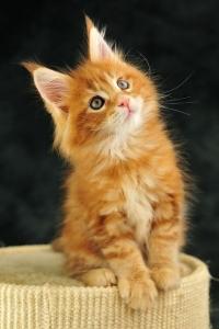 Аватар вконтакте Милый маленький рыжий котенок