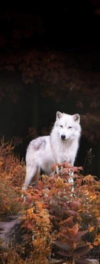 Аватар вконтакте Волк на природе