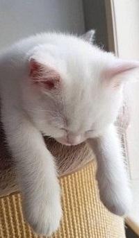 Аватар вконтакте Белый кот лежит на спинке кресла, свесив лапки
