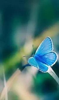 Аватар вконтакте Голубая бабочка на травинке