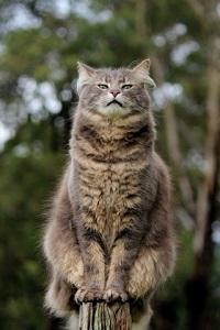 Аватар вконтакте Пушистый серый кот гордо смотрит пред собой