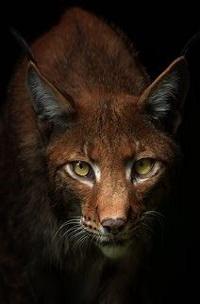 Аватар вконтакте Обыкновенная рысь с желтыми глазами