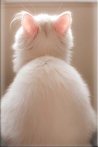 Аватар вконтакте Белая кошечка с розовыми ушками сидит у стены глядя вверх, вид со спины