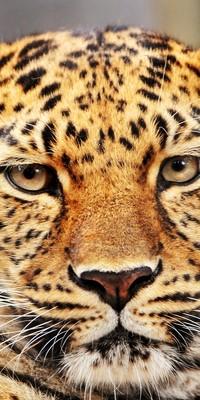 Аватар вконтакте Мордочка леопарда крупным планом