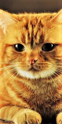 Аватар вконтакте Мордочка рыжего кота с зелеными глазами