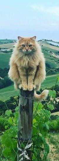 Аватар вконтакте Пушистый кот сидит на столбике на фоне природы
