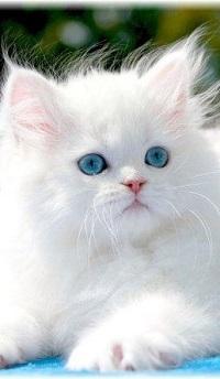 99px.ru аватар Белый голубоглазый котенок, by KillerPilze696