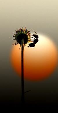 Аватар вконтакте Муравей на отцветшем одуванчике на фоне закатного солнца
