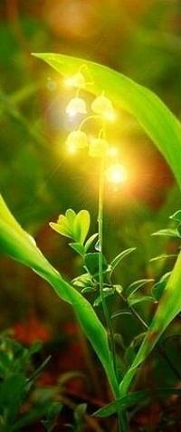 Аватар вконтакте Весенний цветущий ландыш