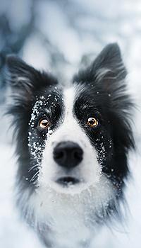 Аватар вконтакте Бордер-колли, чья мордочка покрыта снегом, смотрит прямо в объектив камеры