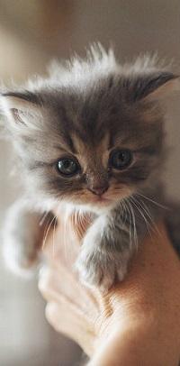 Аватар вконтакте Серый котенок в руке человека