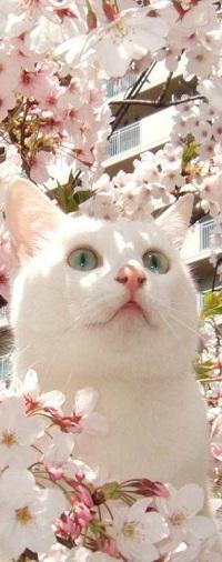 Аватар вконтакте Белая кошка в весенних цветах вишни
