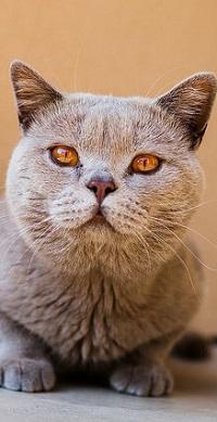 Аватар вконтакте Кошка британской породы с оранжевыми глазами