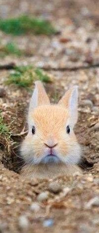 Аватар вконтакте Кролик выглядывает из норки