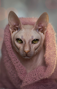 Аватар вконтакте Белый кот породы сфинкс в розовом шарфе, фотограф Екатерина Науменко