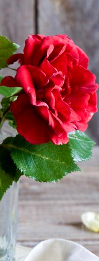 Аватар вконтакте Сочная алая роза с зелеными свежими листьями