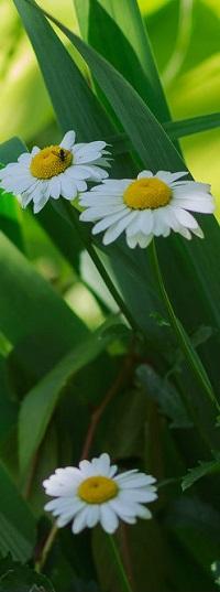 Аватар вконтакте Три белые ромашки, фотограф Андрей Косенко