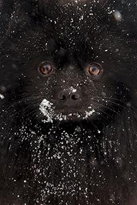 Аватар вконтакте Пушистая морда черной собаки, припорошенная снегом, фотограф Александр Игнатьев