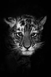 Аватар вконтакте Портрет тигренка в черно-белом цвете, фотограф
