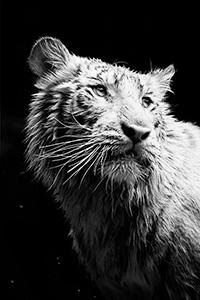 Аватар вконтакте Портрет белого тигра в черно-белом цвете, фотограф lyonl