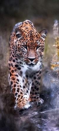 Аватар вконтакте Леопард идет по земле