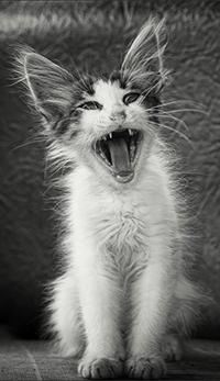 Аватар вконтакте Кричащий котенок, фотограф Сергей Фудиненко