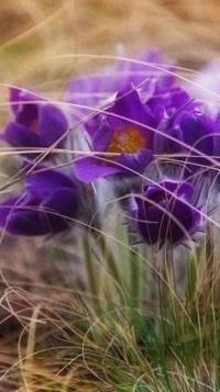 Аватар вконтакте Цветы-сон трава, фотограф Сагайдак Павел