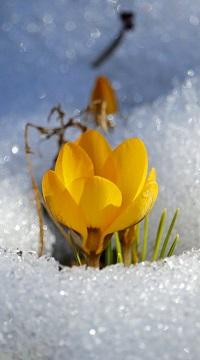 Аватар вконтакте Желтый крокус в снегу