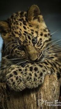 Аватар вконтакте Детеныш леопарда на пне
