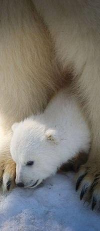 Аватар вконтакте Медвежонок лежит между лап своей мамы-медведицы
